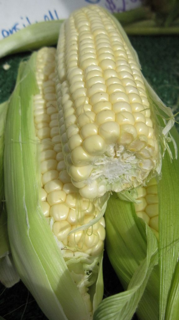 Yellow corn1